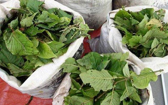 Guna alasan ziarah ibu untuk rentas negeri, rupanya kantoi ambil bekalan daun ketum