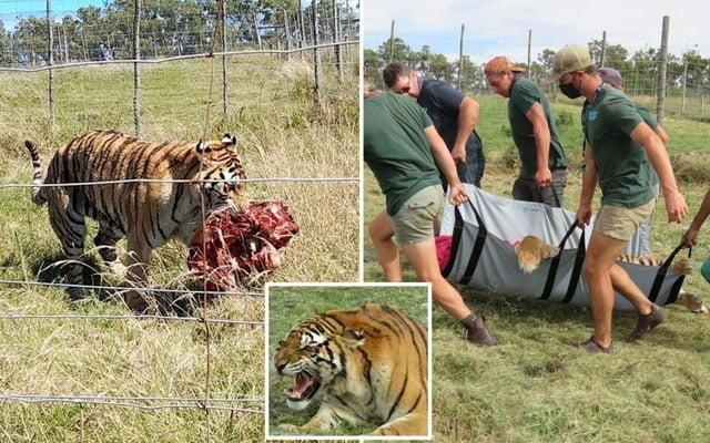 Penjaga zoo maut dibaham harimau